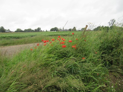 Poppies in Railway Valley where the Pals waited for the bombardment to lift before they made the final push